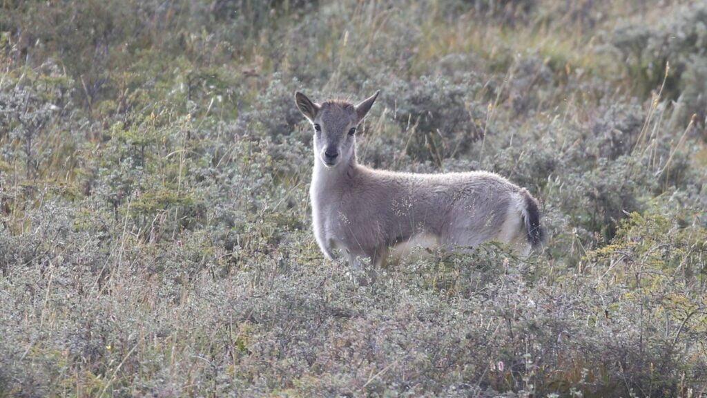 Blue Sheep Femaleblue-sheep-female