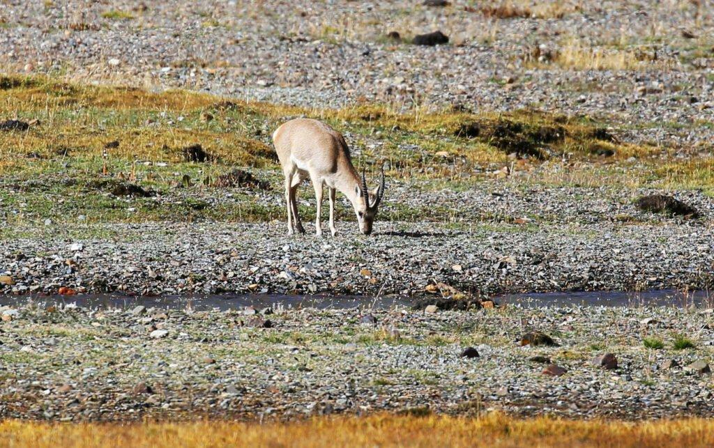 gazeele