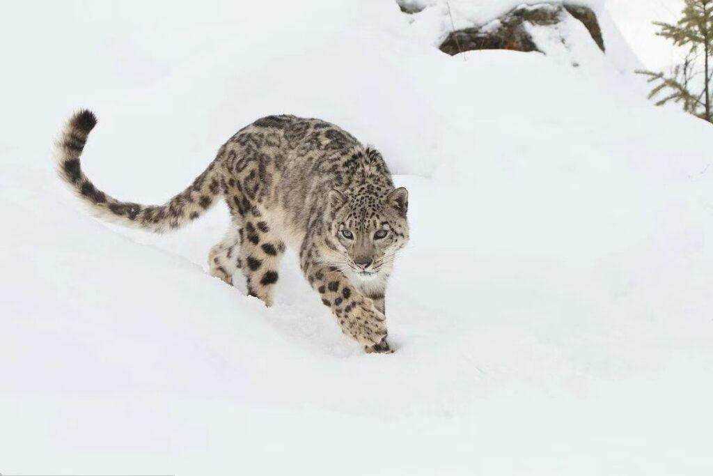 snow-leopardsnow-leopard